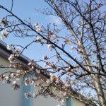 桜の花が❤